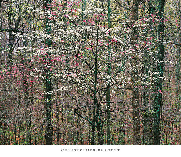 Pink and White Dogwoods, Kentucky by Christopher Burkett - 26 X 30