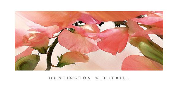 Sweet Peas #1 by Huntington Witherill - 18 X 36