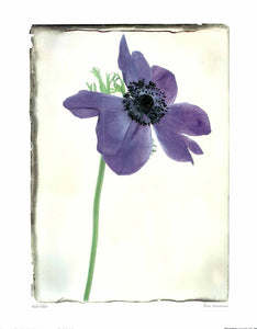 "Blue Anemone by Rick Filler - 16 X 20"" - Fine Art Posters."