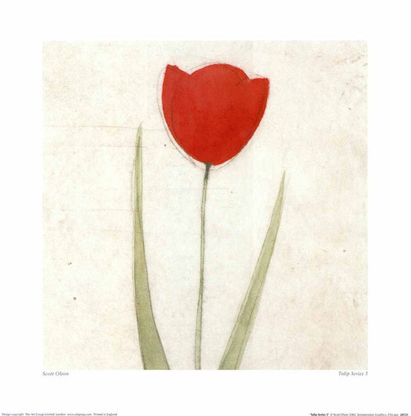 Tulip Series 5 by Scott Olson - 16 X 16 Inches (Poster)