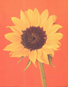 "Sunflower by Masao Ota - 16 X 20"" - Fine Art Posters."