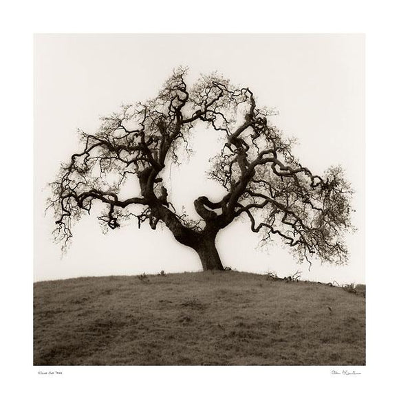 Hillside Oak Tree by Alan Blaustein - 24 X 24