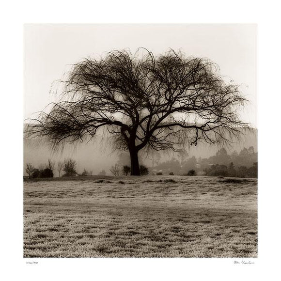 Willow Tree by Alan Blaustein - 24 X 24