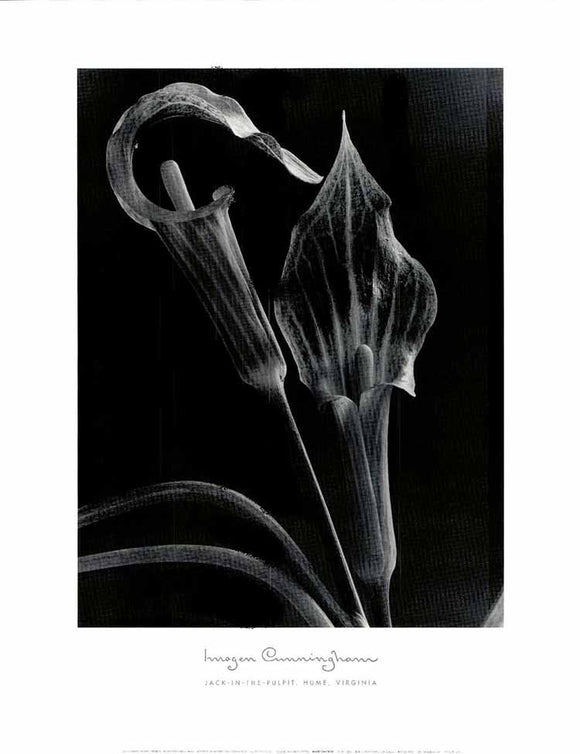 Jack-in-the-Pulpit, Hume, Virginia by Imogen Cunningham - 22 X 28
