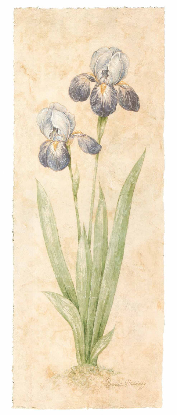 Firenze Iris, 1999 by Pamela Gladding - 14 X 32