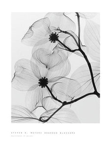"Dogwood Blossoms by Steven N. Meyers - 18 X 24"" - Fine Art Poster."