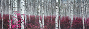 "Silver Birch Forest, China - 13 X 38"" - Fine Art Poster."