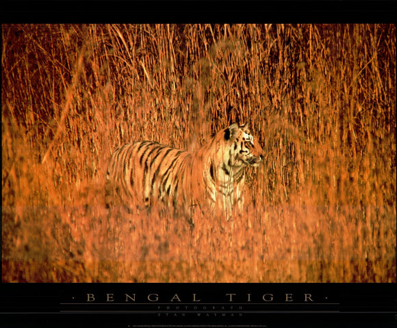 Bengal Tiger by Stan Wayman - 24 X 32