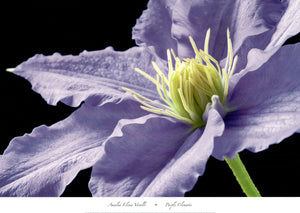 Purple Clematis by Amalia Elena Veralli - 26 X 36 Inches (Poster)