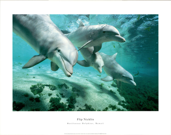 Bottlenoes Dolphins, Hawaii - 22 X 28 Inches - Fine Art Poster.