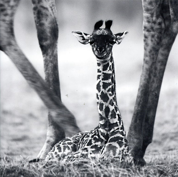 Young Giraffe Walking between its mather's legs - 6 X 6 Inches (Greeting Card)
