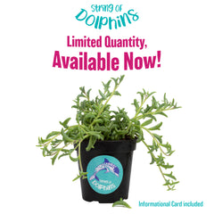 "String of Dolphins - RARE - 3.5""- Limited Quantity"