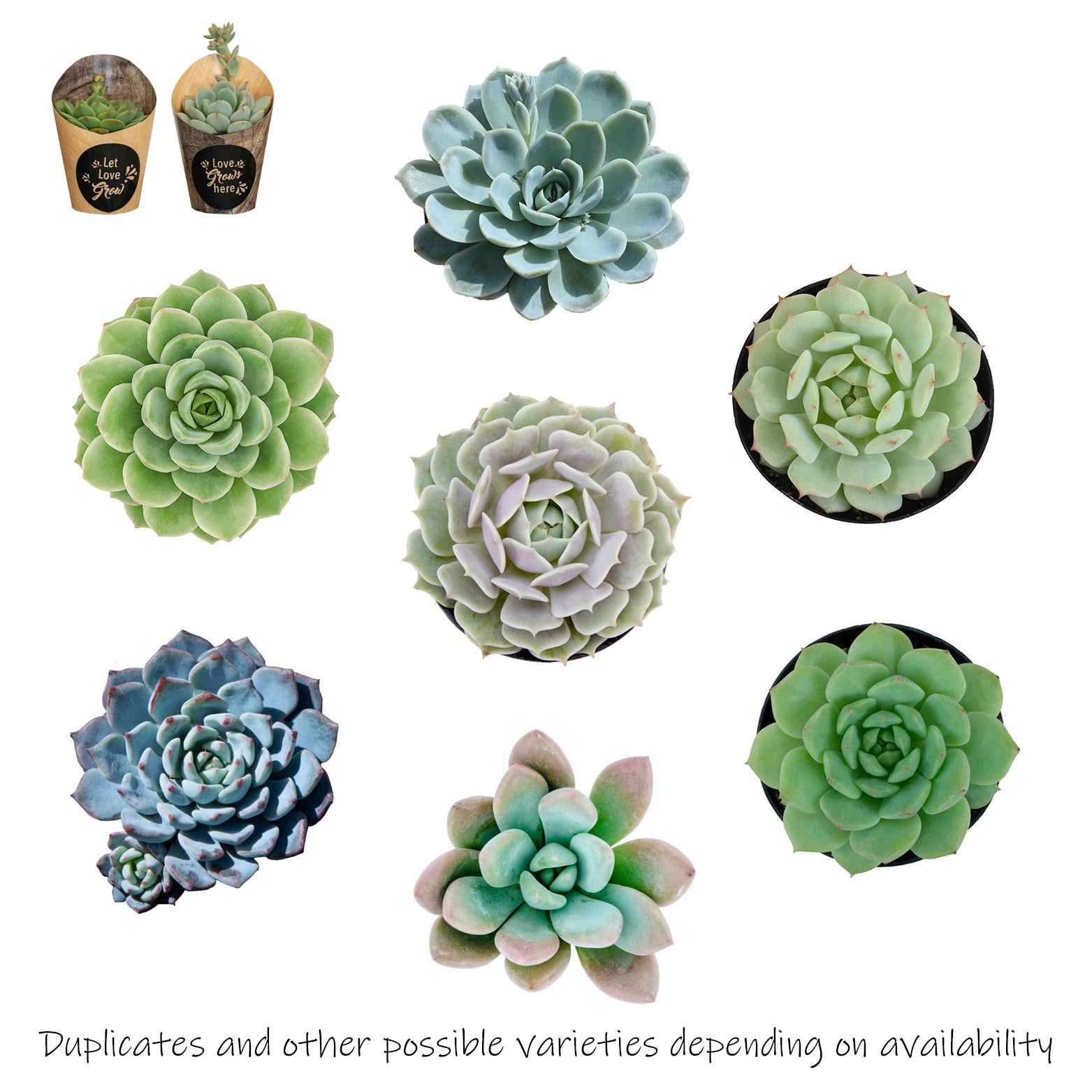 "Love Grows Rosette Succulents Collection 2.5"" 2 Pack Includes To/From Card"