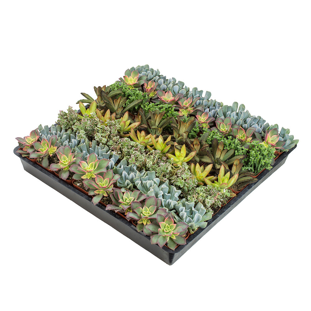 2 Inch Assorted Succulent 64 Pack - 2