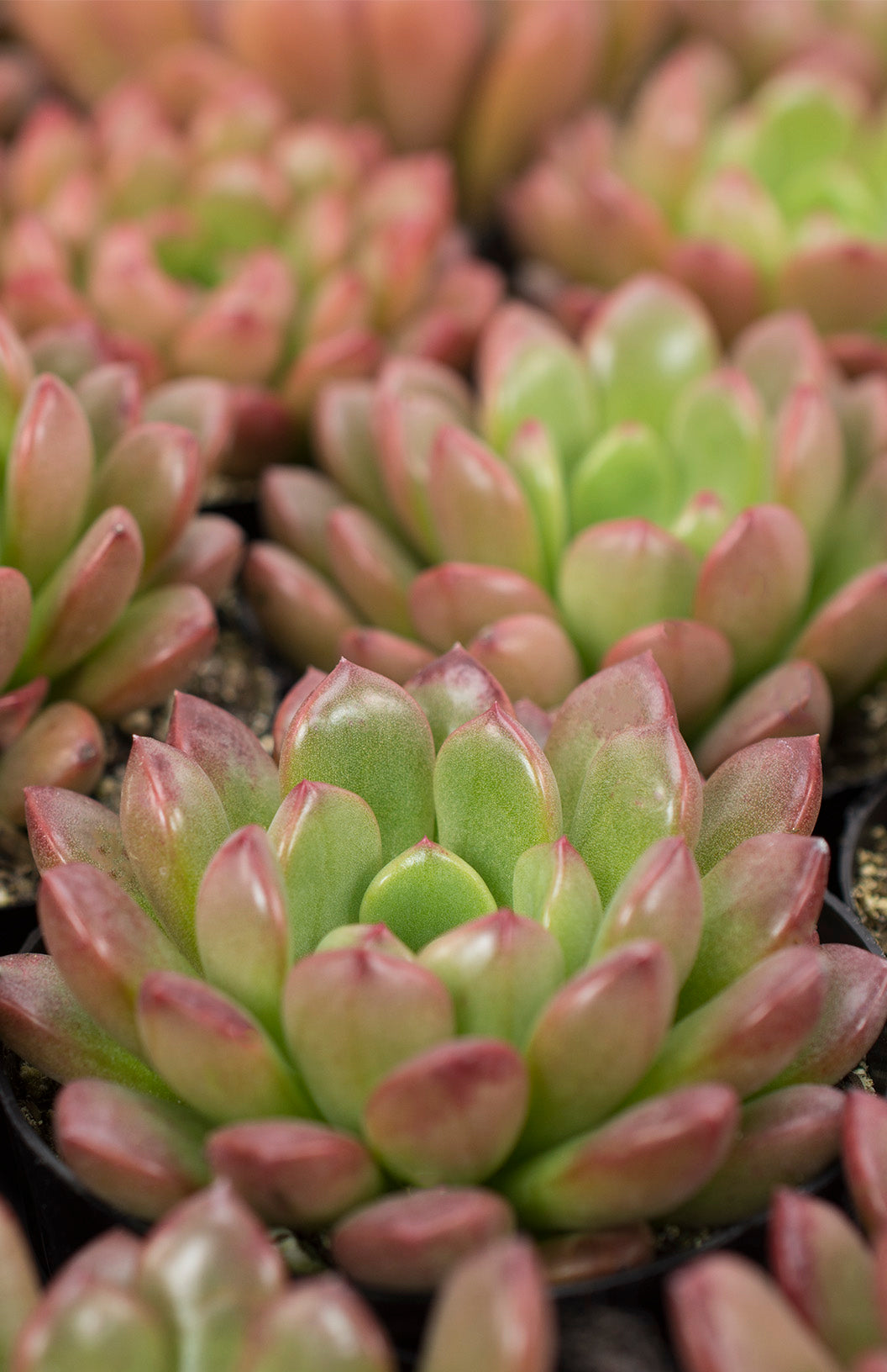 Graptoveria 'Bashful'™