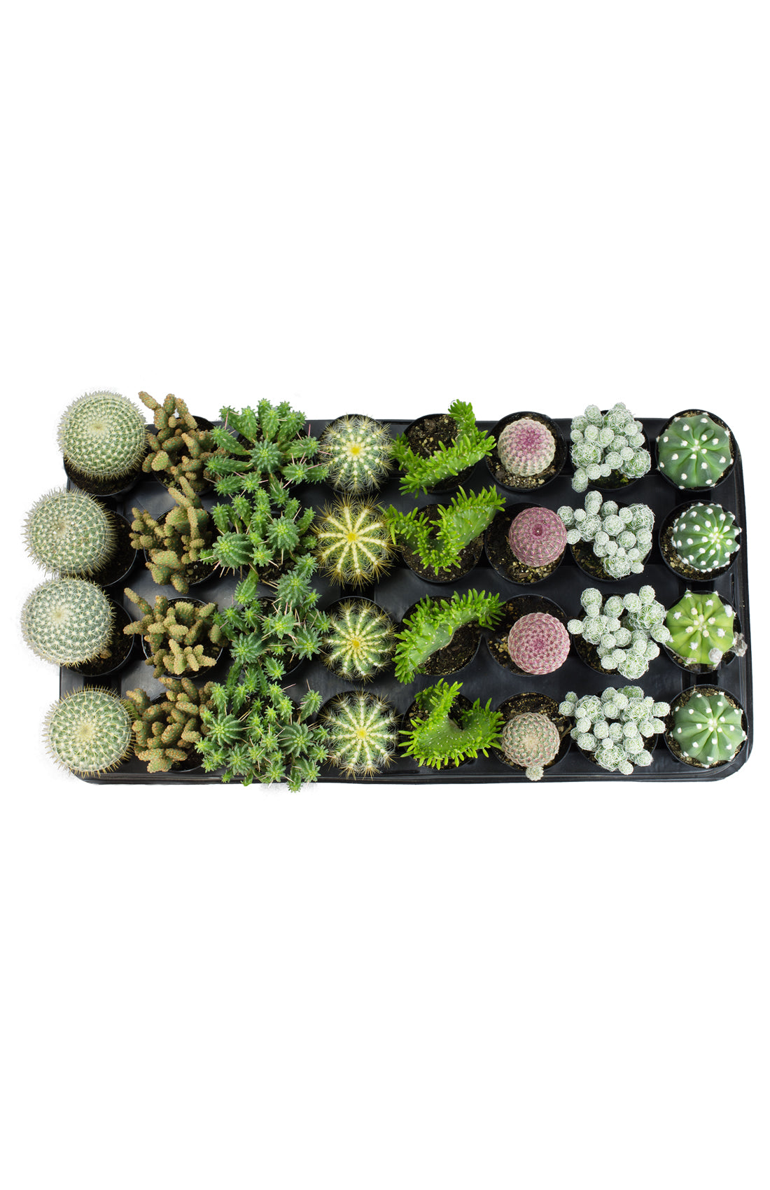 Assorted Cacti Tray