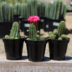 Echinopsis 'Rose Quartz'