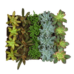 2 Inch Assorted Succulents 20 Pack - 2