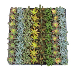 2 Inch Assorted Succulent 64 Pack