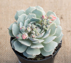 "Echeveria derenbergii ""Painted Lady"""