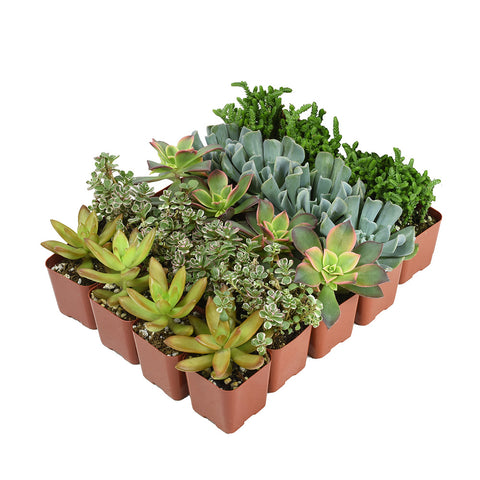 2 Inch Assorted Succulents 20 Pack