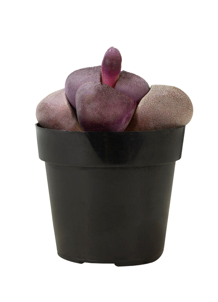 "Pleiospilos nelii 'Royal Flush' ""Purple Split Rock"""