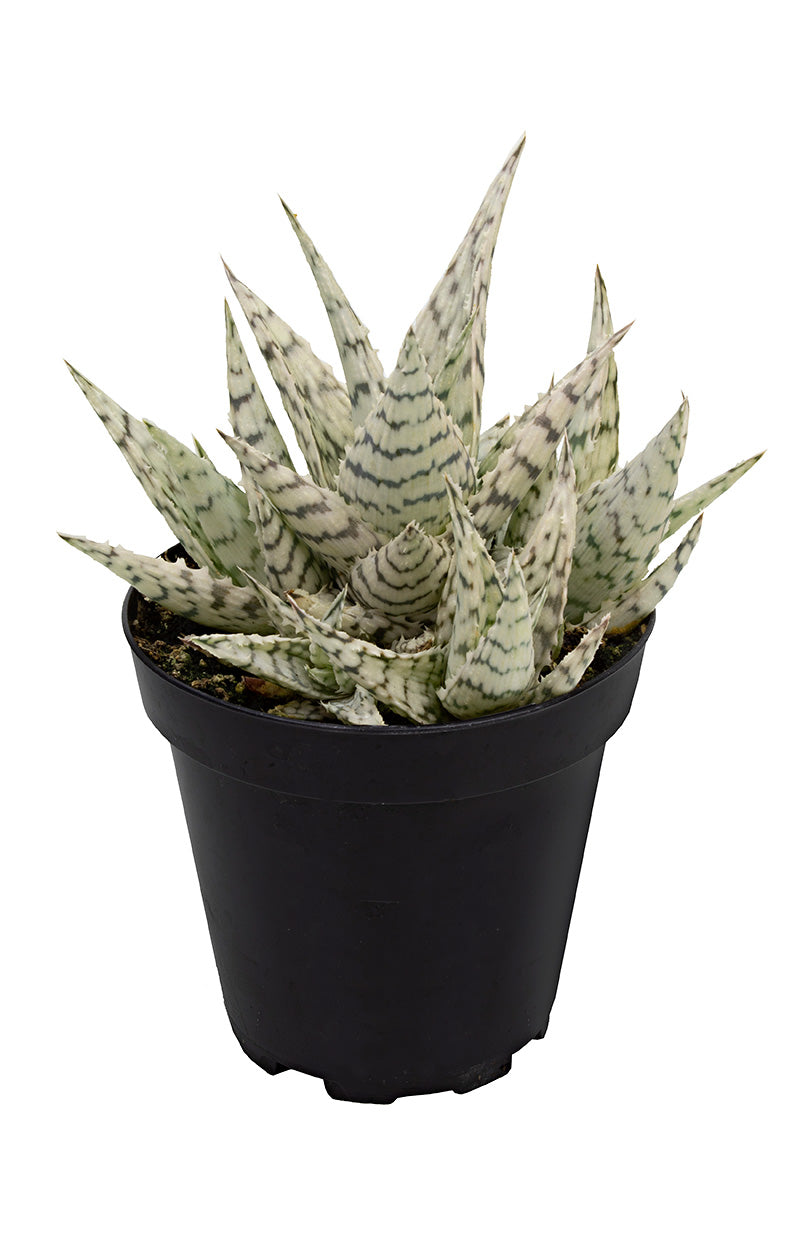 aloe blizzard angle white background