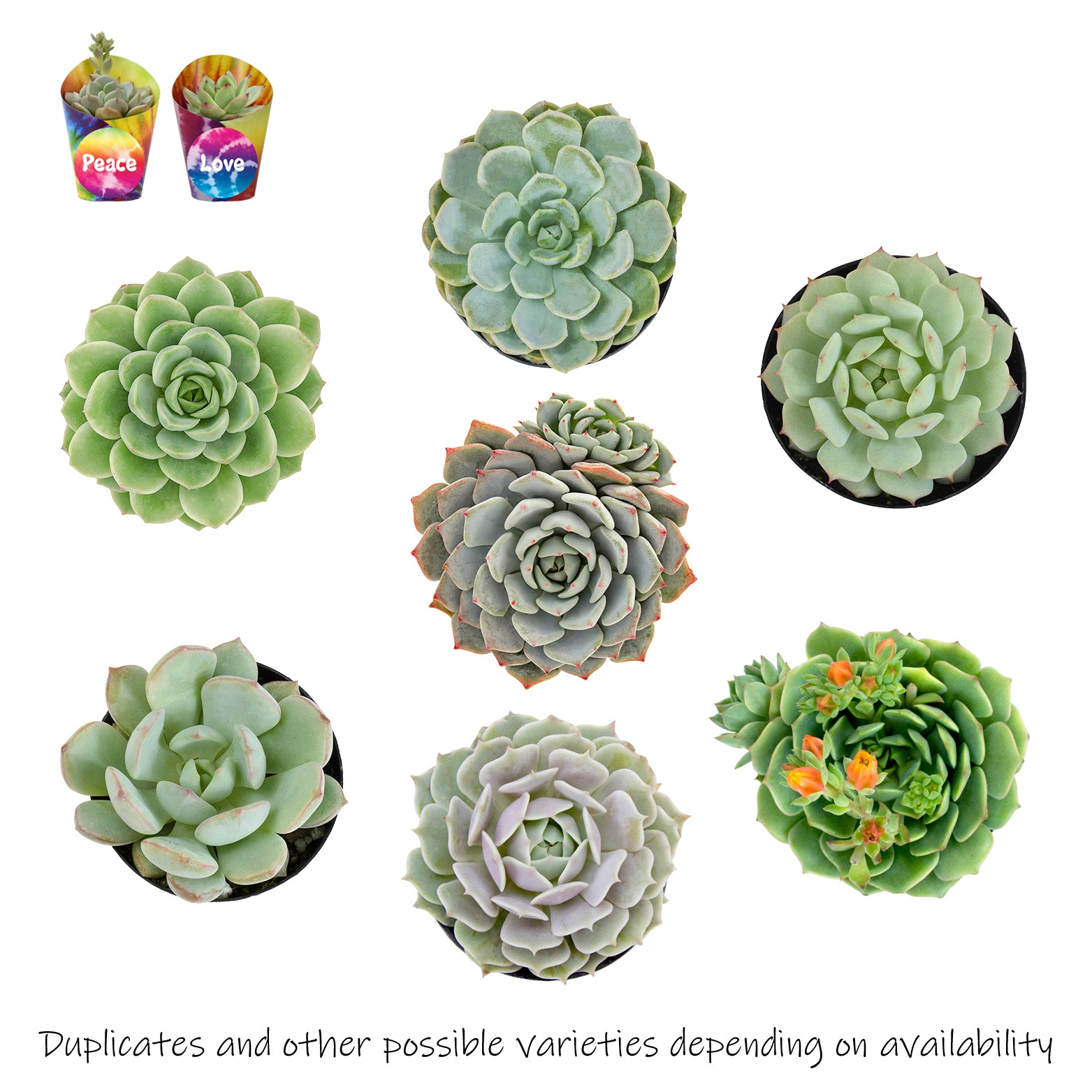 Boho Tie Dye Modern Hippie Rosette Succulent 2 Pack With To/from Gift Card