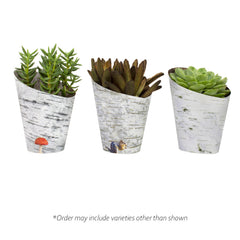 Birch-style Wrap 3 Pack with Assorted Succulents