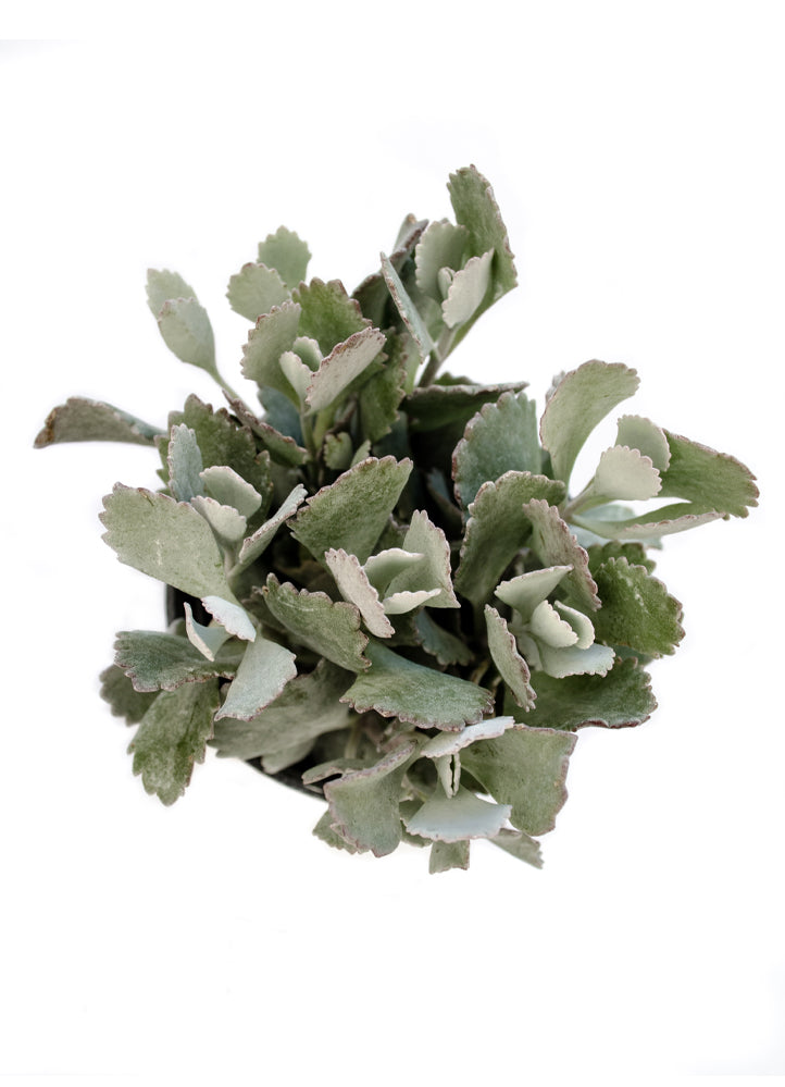 Kalanchoe pumila 'Frosty Pink' – Altman Plants on flapjack succulent kalanchoe plant care, pink flowers with succulent plants, pink flower with green leaves plant, kalanchoe daigremontiana plant care, pink succulent cuttings, common kalanchoe plant care, kalanchoe tomentosa panda plant care, pink magnolia tree with flowers, pink mother of thousands, kalanchoe blossfeldiana plant care, kalanchoe thyrsiflora care, pink variegated kalanchoe flower,