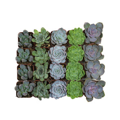 2 Inch Assorted Rosettes 20 Pack