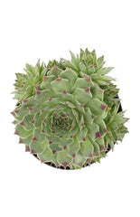 "Sempervivum calcareum ""Hens n' Chicks"""
