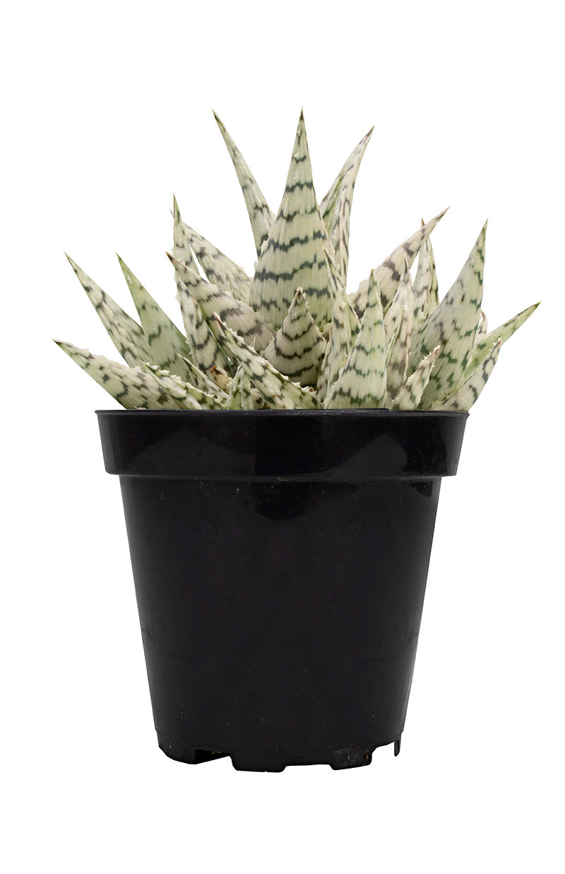 aloe blizzard front white background