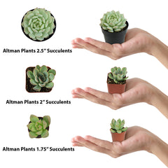 "Flight of Succulents 6 Pack 1.75"" mini plants with To/From card - 1.75"