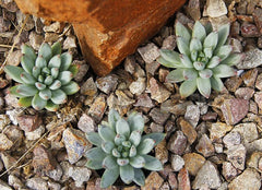 "Pachyveria 'Glauca' ""Little Jewel"""