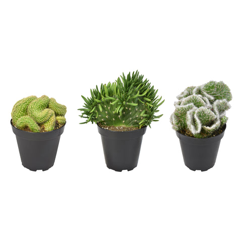 "Crested Cactus 3-Pack - 3.5"" — Limited!"