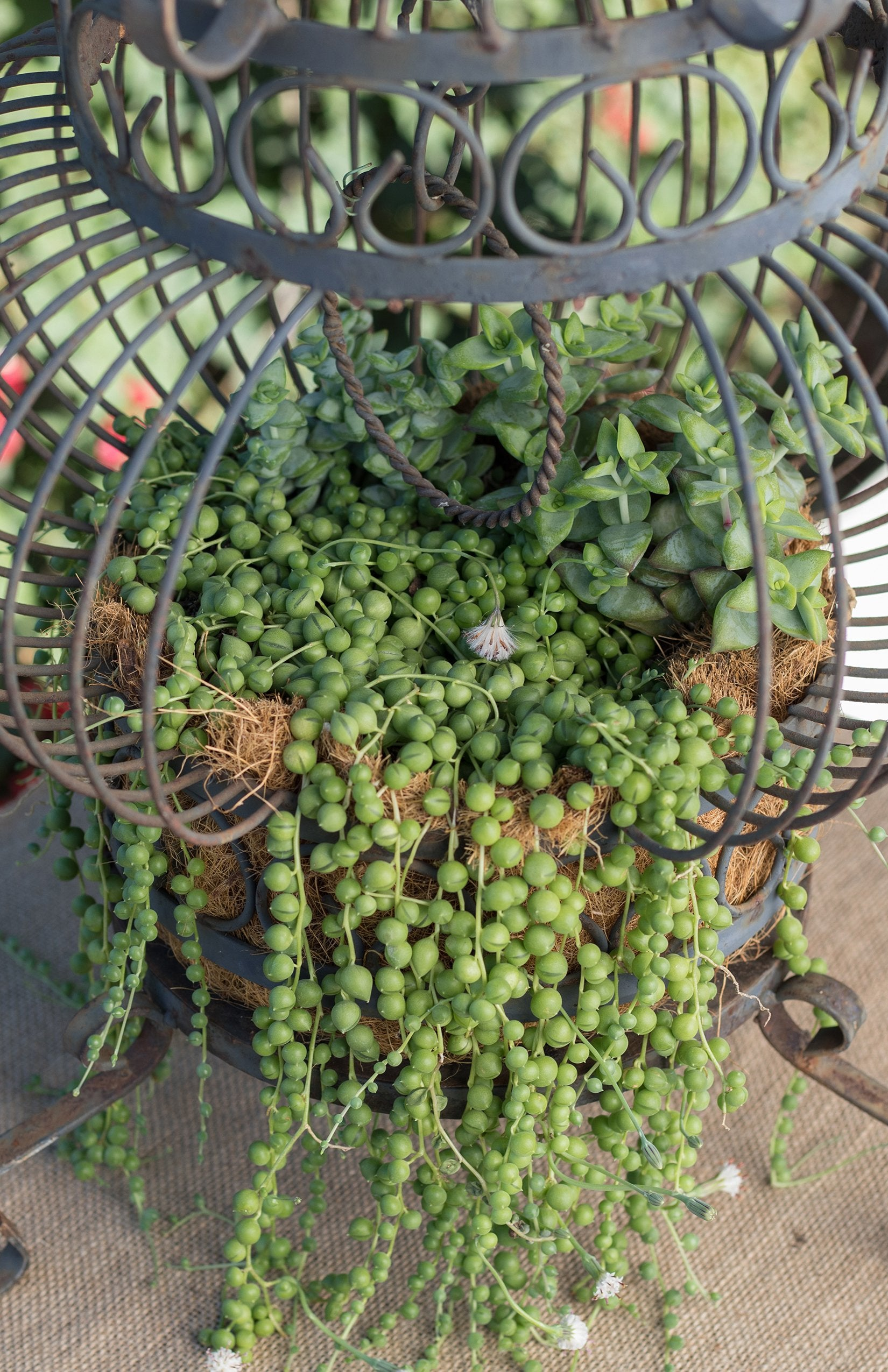 "Senecio rowleyanus ""String of Pearls"""