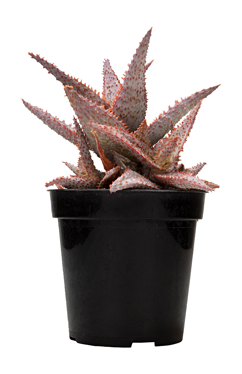 Aloe Purple people eater front white background