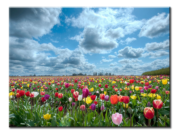 Beautiful Tulip Field Canvas Wall Art - Extra Large 1-panel 40 x 30 inches