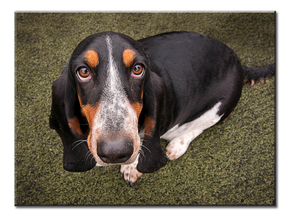 Cute Hound Dog Canvas Wall Art - Extra Large 1-panel 40 x 30 inches