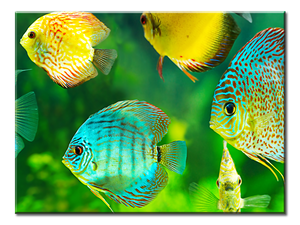 Beautiful Watch Tropical Fish Canvas Wall Art 1-panel 24 x 18 inches