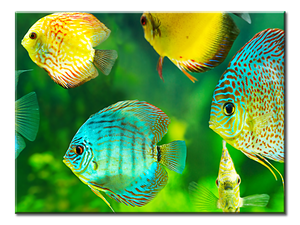 Tropical Fish Canvas Wall Art - Extra Large 1-panel 40 x 30 inches