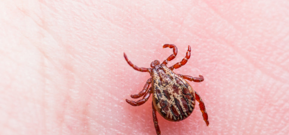 What to Do When You've Been Bitten by a Tick
