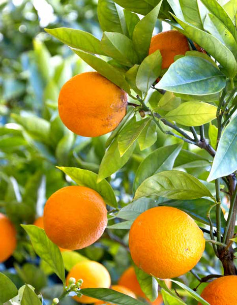 Citrus Fruits for Weight Loss