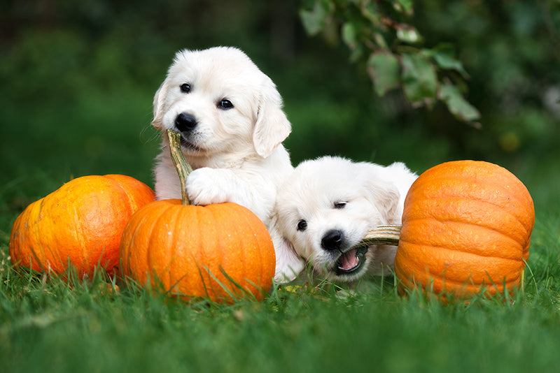 Benefits of Adding Pumpkin to Your Dogs Diet