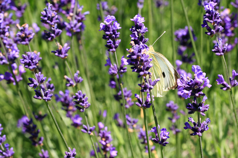 a butterfly on a Lavender plant