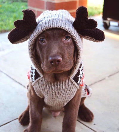 The Chilly Dog Moose