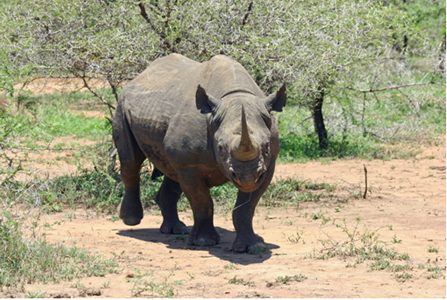 Australian Company Provides Technology to Protect Rhinos from Poachers