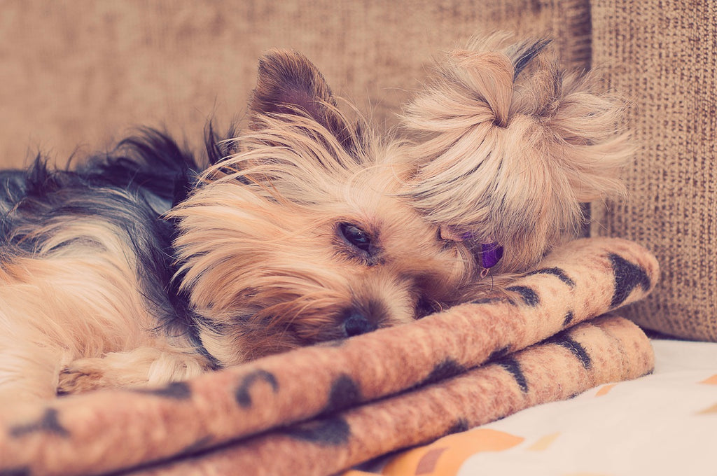 Yorkie Care Guide