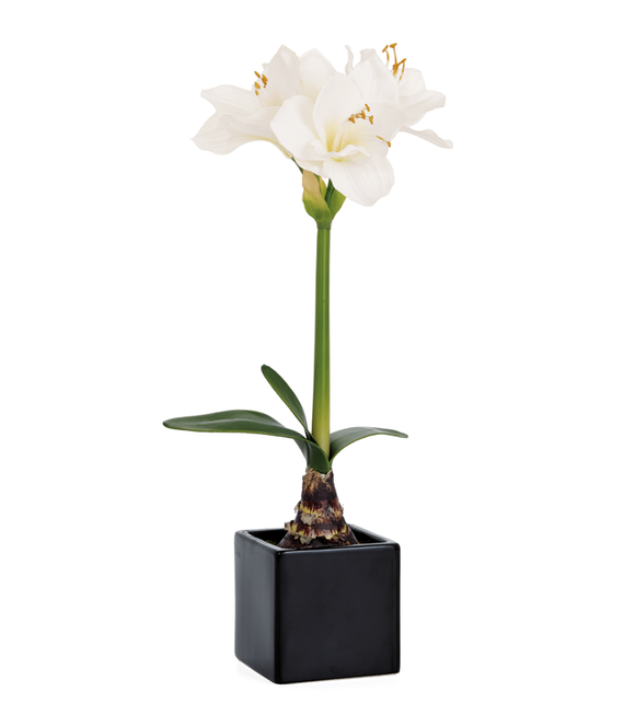 Potted Amaryllis - White